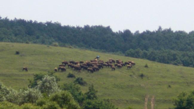 Bizonii, pe dealul de peste drum