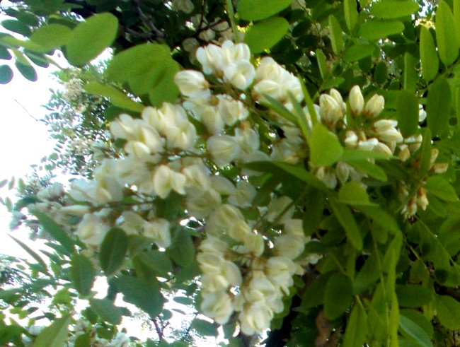 Floare alba de salcam