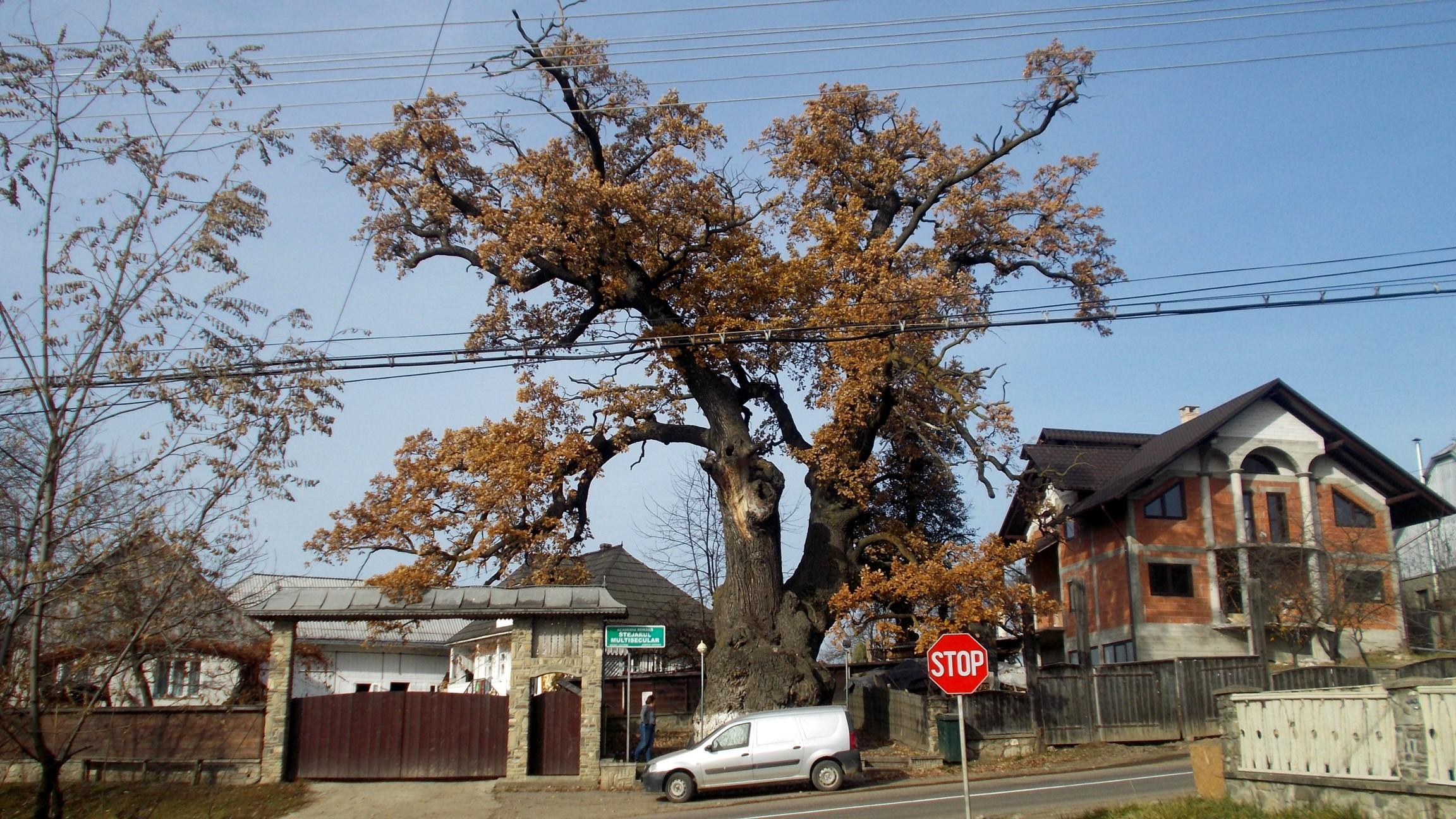 Stejarul Cajvanei dintotdeauna