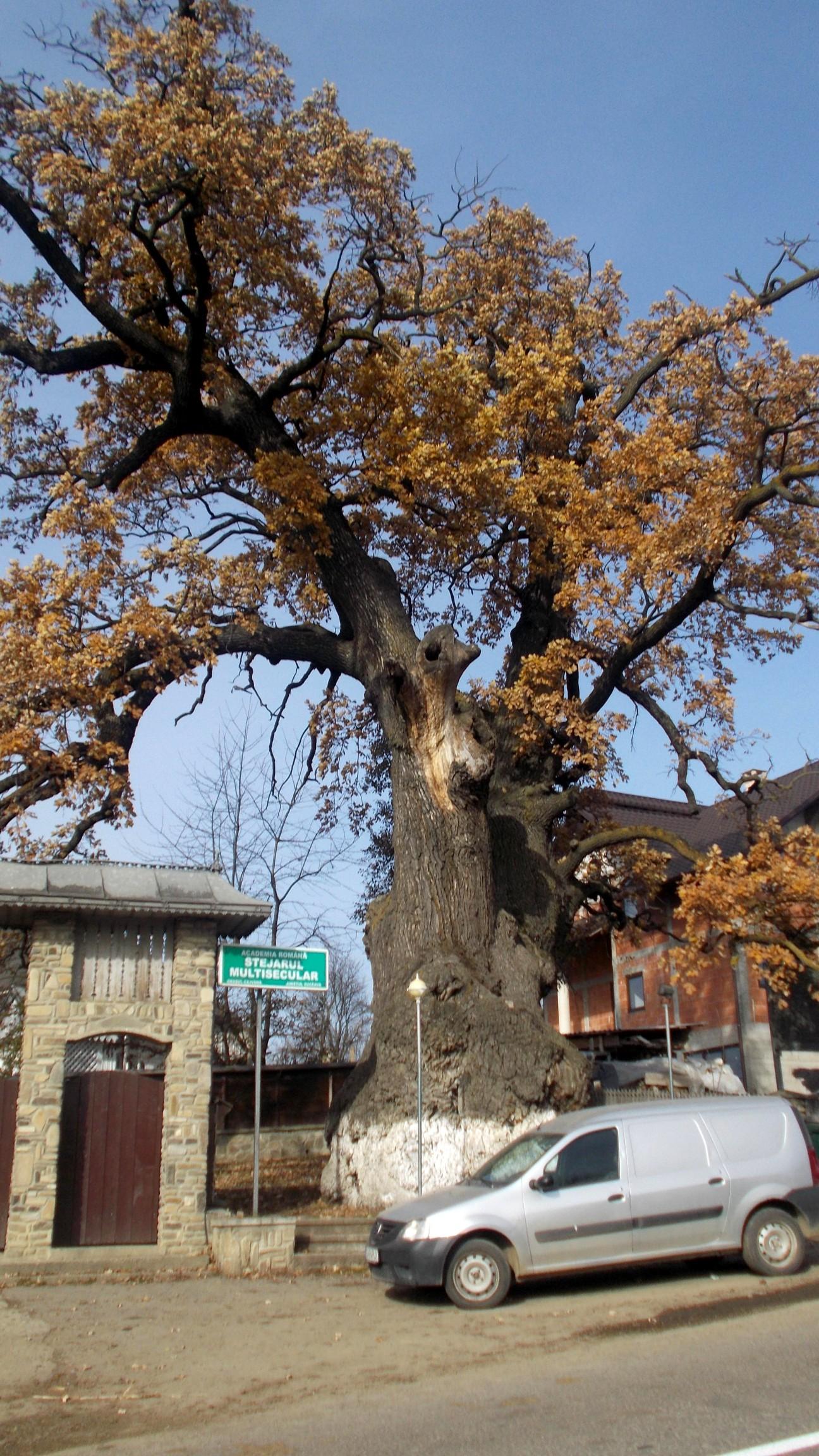 Căci stejaru-i sfânt în sat, / Nu-n grădincă la-mpărat!...