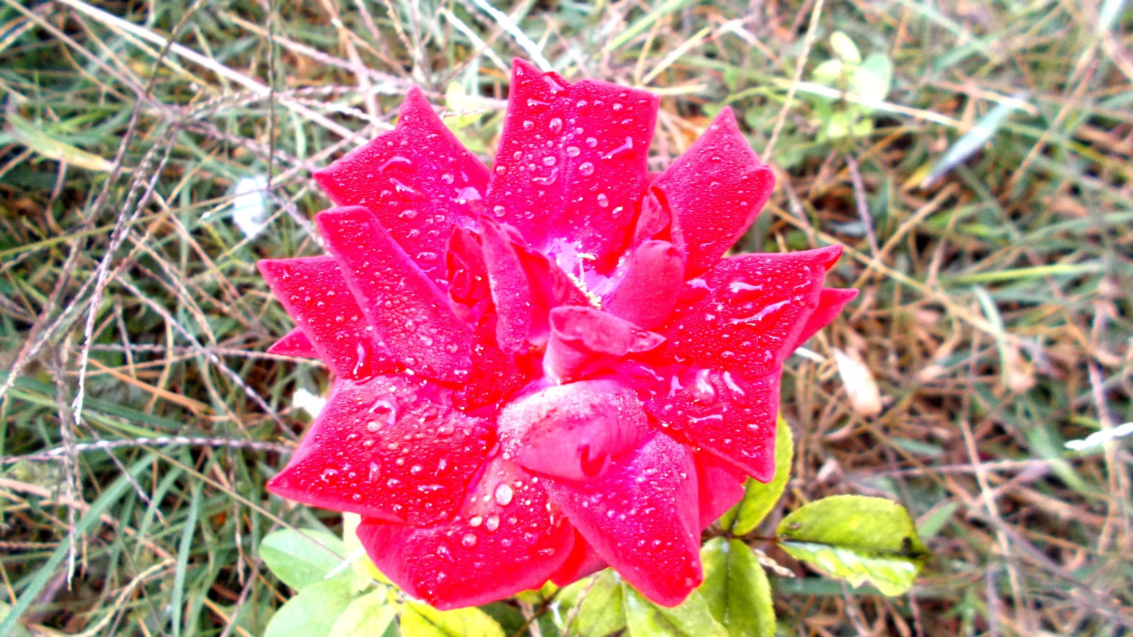 Trandafir de la Moldova